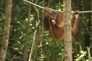 Baby Orangutan hanging from a rope between trees