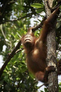 Orangutan hanging from tree